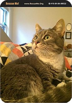 Domestic Shorthair Cat for adoption in Waldorf, Maryland - Buggs