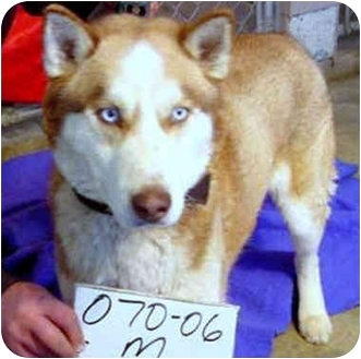 Husky Mix Dog for adoption in Various Locations, Indiana - Arrow