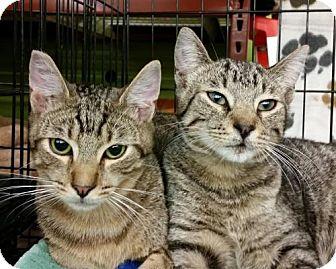 Domestic Shorthair Cat for adoption in Walnut Creek, California - Dynamo & Tigger