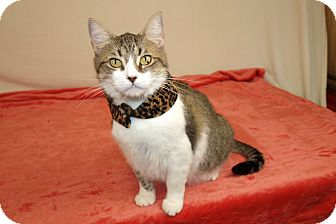 American Shorthair Cat for adoption in Jackson, Mississippi - Bodie