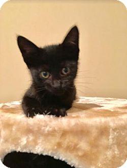 Domestic Shorthair Kitten for adoption in Chicago, Illinois - Odin