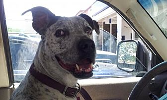 Australian Cattle Dog Mix Dog for adoption in Pena Blanca, New Mexico - FRECKLES