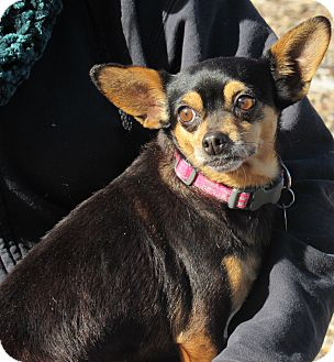 Terrier (Unknown Type, Small)/Chihuahua Mix Dog for adoption in Sonoma, California - Chloe