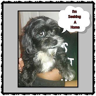 Shih Tzu Mix Dog for adoption in Richmond, California - Odey