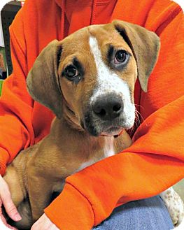 Boxer Mix Puppy for adoption in McKinney, Texas - Dakota