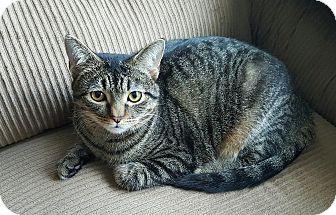 Domestic Shorthair Kitten for adoption in Edgewater, New Jersey - Robin