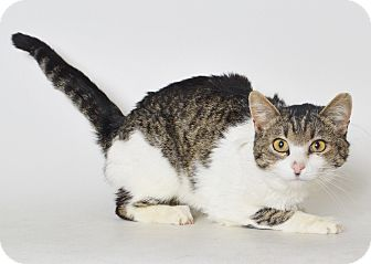 Domestic Shorthair Cat for adoption in Fruit Heights, Utah - Monarch