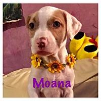 Adopt A Pet :: Moana - Joliet, IL