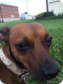 Dachshund/Chihuahua Mix Dog for adoption in Mechanicsburg, Pennsylvania - Lilah aka Justice