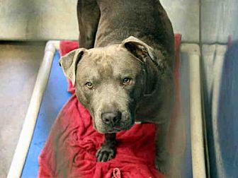 American Pit Bull Terrier Dog for adoption in Phoenix, Arizona - NIKO