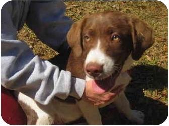 Spaniel (Unknown Type)/Labrador Retriever Mix Puppy for adoption in Glenburn, Maine - Harvey
