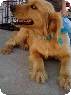 Golden Retriever/Australian Shepherd Mix Dog for adoption in Sulphur Springs, Texas - Shadow