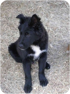 German Shepherd Dog/Border Collie Mix Puppy for adoption in Stafford Springs, Connecticut - Logan