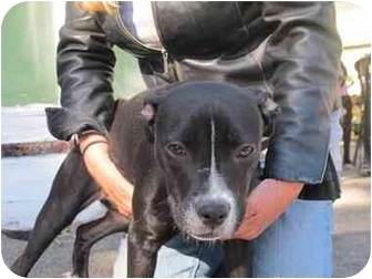 Boston Terrier/American Staffordshire Terrier Mix Dog for adoption in Long Beach, New York - Diamond