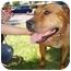 Photo 2 - Rhodesian Ridgeback/Terrier (Unknown Type, Medium) Mix Dog for adoption in San Dimas, California - Mommy