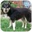 Photo 2 - Sheltie, Shetland Sheepdog/Shepherd (Unknown Type) Mix Dog for adoption in Latrobe, Pennsylvania - Riley