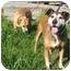 Photo 4 - Labrador Retriever/American Pit Bull Terrier Mix Dog for adoption in Berkeley, California - Schoen