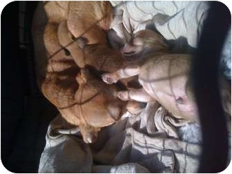 Chihuahua/Dachshund Mix Dog for adoption in Redondo Beach, California - Emma