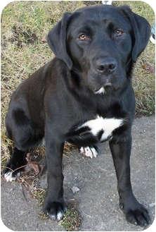 Labrador Retriever/Basset Hound Mix Dog for adoption in Struthers, Ohio - Baby HOUSEBROKEN
