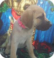 Bullmastiff/Catahoula Leopard Dog Mix Puppy for adoption in Hammond, Louisiana - Sasha