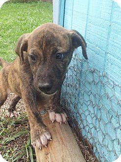 Labrador Retriever Mix Puppy for adoption in Groton, Massachusetts - George