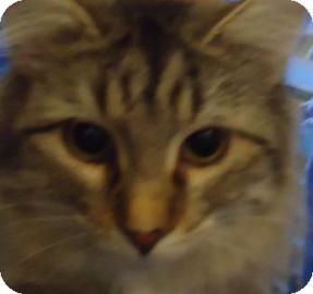 Maine Coon Kitten for adoption in batlett, Illinois - Calvin