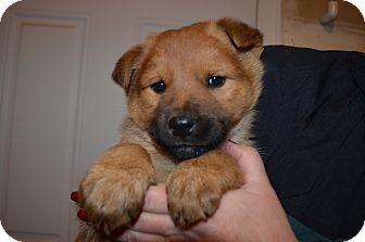 Golden Retriever/Shepherd (Unknown Type) Mix Puppy for adoption in Westminster, Colorado - Blitzen