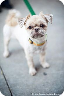 Shih Tzu Mix Dog for adoption in Detroit, Michigan - Yetti-Adopted!