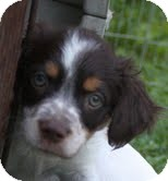 Beagle/Spaniel (Unknown Type) Mix Puppy for adoption in Washington, D.C. - Bullwinkle