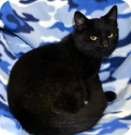 Domestic Shorthair Cat for adoption in Crosby, Texas - Jet