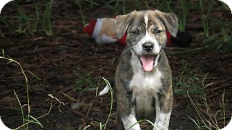 Border Collie/Cattle Dog Mix Puppy for adoption in Middleburg, Florida - Keegan