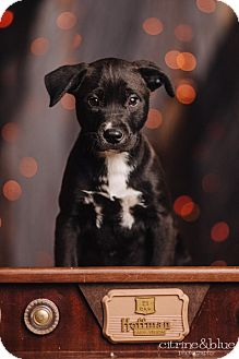 Labrador Retriever/Pit Bull Terrier Mix Puppy for adoption in Portland, Oregon - Un