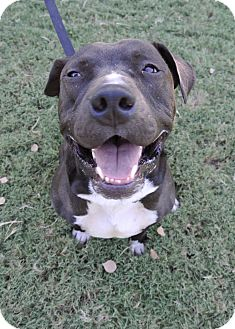 American Pit Bull Terrier Mix Dog for adoption in Gilbert, Arizona - Deuce