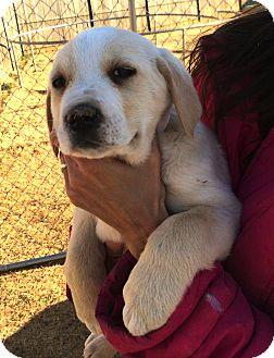 Labrador Retriever/Golden Retriever Mix Puppy for adoption in Westport, Connecticut - *Tulip - PENDING