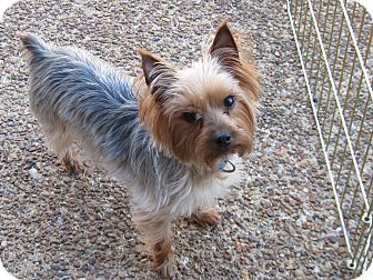 Yorkie, Yorkshire Terrier Dog for adoption in Spring Valley, New York - Allie