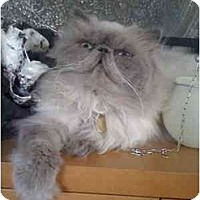 Adopt A Pet :: Dandello - Beverly Hills, CA