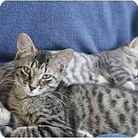 Adopt A Pet :: R2D2 - Montreal, QC