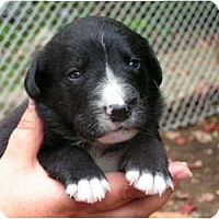 Adopt A Pet :: T.J. - Rigaud, QC