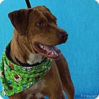 Adopt A Pet :: Baron - Elizabeth City, NC