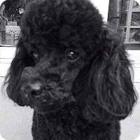 Adopt A Pet :: Pierre - Dover, MA