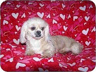 Shih Tzu Dog for adoption in Old Fort, North Carolina - Callie