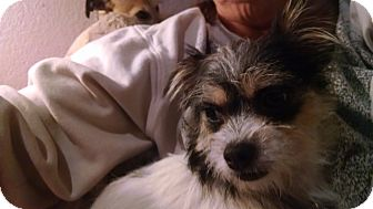 Yorkie, Yorkshire Terrier/Brussels Griffon Mix Dog for adoption in Simi Valley, California - Cracker