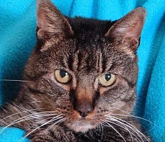 Domestic Shorthair Cat for adoption in Renfrew, Pennsylvania - Gershwin
