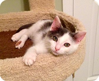 Domestic Shorthair Kitten for adoption in Charlotte, North Carolina - A..  Roscoe