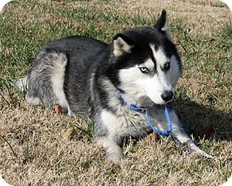 Siberian Husky Mix Dog for adoption in Erwin, Tennessee - Angelina