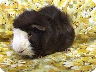 Guinea Pig for adoption in Montclair, California - Chippy