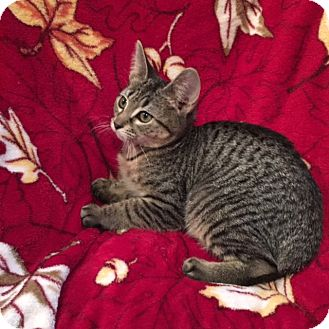 Domestic Shorthair Kitten for adoption in Colmar, Pennsylvania - Glory