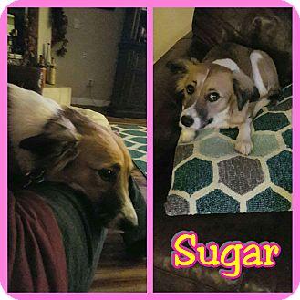Collie Mix Dog for adoption in Mesa, Arizona - Sugar