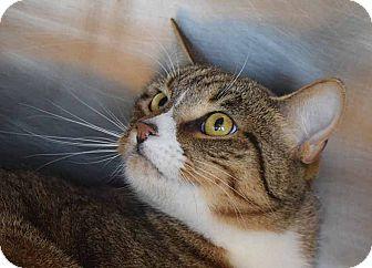 Domestic Shorthair Cat for adoption in Sierra Vista, Arizona - Jake