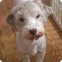 Adopt A Pet :: Tootsie - Detroit, MI